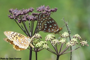 Aphrodite & Great Spangled Fritillaries