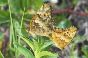 Variegated Fritillaries Mating - Wings Closed