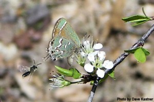 Juniper Hairstreak (1)