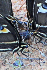 Palamedes Swallowtails Puddling