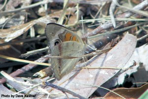 Common Buckeye (1)