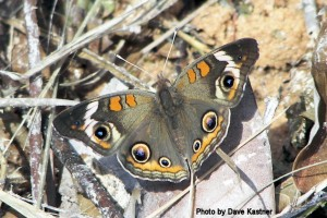 Common Buckeye (2)