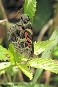 American Lady Ventral