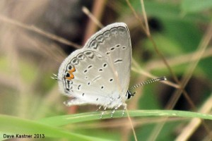 Eastern Tailed-Blue Ventral