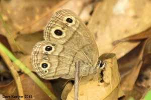 Little Wood-Satyr Ventral