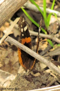 Red Admiral Dorsal
