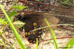 Spicebush Swallowtail Ventral