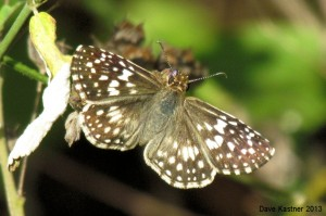 Tropical Checkered-Skipper 2