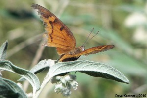 Goatweed Leafwing on Croton