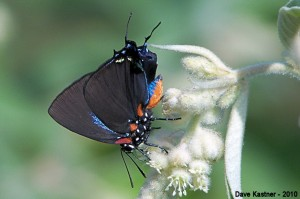 Great Purple Hairstreak (H)