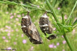 Common Buckeye Chrysalides
