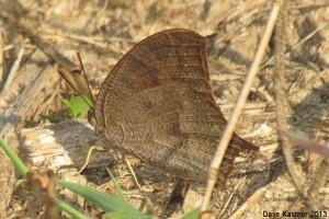 Goatweed Leafwing 5