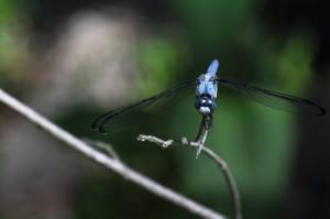 Great Blue Skimmer face