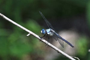 Great Blue Skimmer side