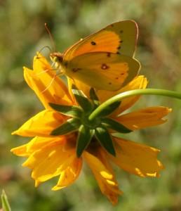 Orange Sulphur Bethabara