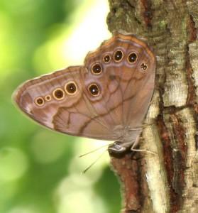 Pearly-eye Bethabara