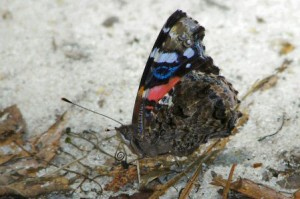 Lee: Red Admiral