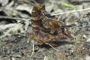 Lee: Eastern Comma